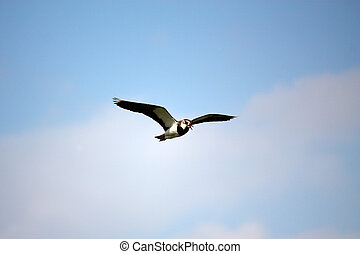 Northern Lapwing flying in the sky - Northern Lapwing (also...