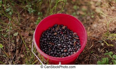 bucket of blueberries - Fresh blueberries in small bucket
