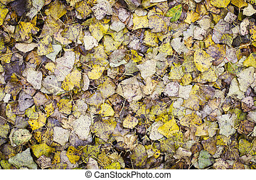 Poplar Leaf Background - Poplar leaves covering the ground...