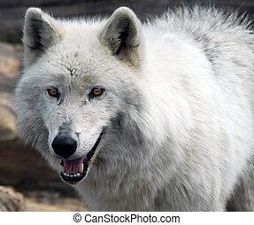 artico, lupo