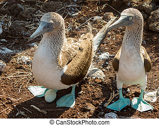 Curious blue footed booby seabirds on Galapagos - Blue...