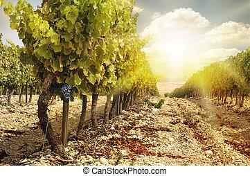jesień, winnice, Zachód słońca, żniwa