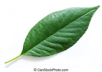 leaf - green leaf isolated on a white