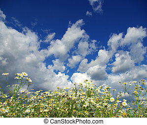 camomile flowers on cloudy sky