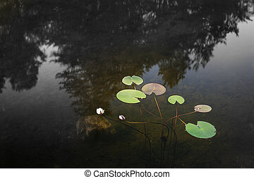 several green leaves of water lily on silent water surface
