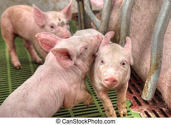 bebé, mamá, alimentación, cerdos, cerdo