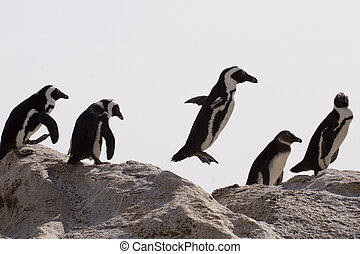 African Penguin (Spheniscus demersus) - African penguins on...