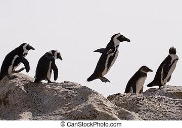 African Penguin (Spheniscus demersus) - African penguins on...