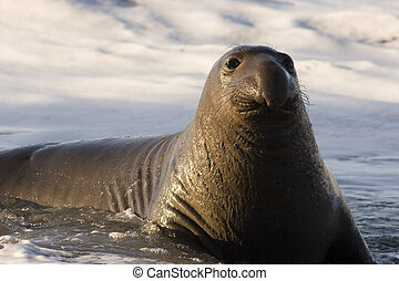 Northern Elephant Seal (Mirounga angustirostris) - Young...