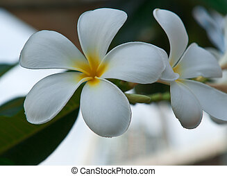 Leelawadee flower, beautiful white flower in thailand