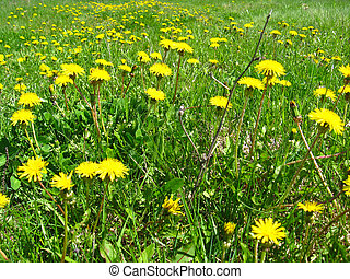 a bed of yellow flowers of dandelions