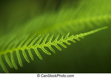 New Zealand Fern - Dicksonia Squarrosa New Zealand Fern.