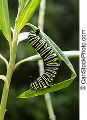 Monarque, papillon, chenille