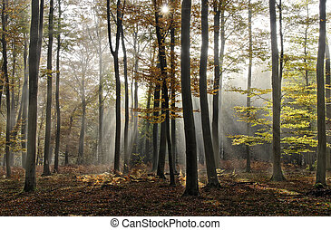 Forest - sunlight in misty forest