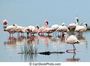 Lesser Flamingos Phoeniconaias Minor, in Water, Lake Nakuru,...