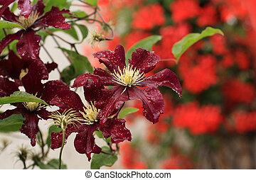 hermoso, jardín,  clemaits