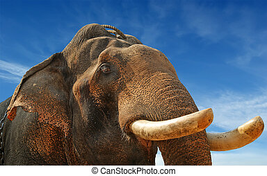 Face of Asian Elephant, or Indian, Kerala, South India