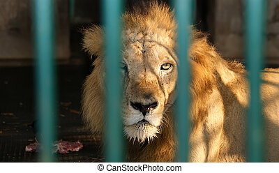 Lion with a sincere sight in cage