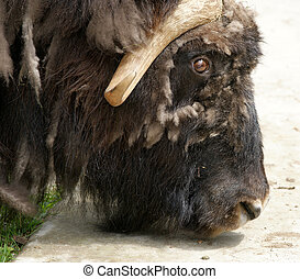 Large-scale image of a head with horns bison, zoo, Moscow,...