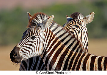 Plains Zebra portrait - Portrait of a Plains (Burchells)...