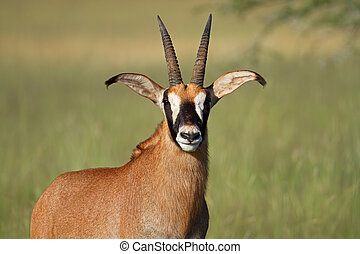 Roan antelope - Portrait of a rare roan antelope Hippotragus...