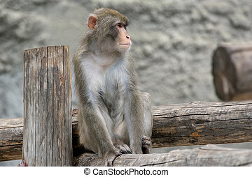 The large image of a brown Japanese macaque snow monkey on...