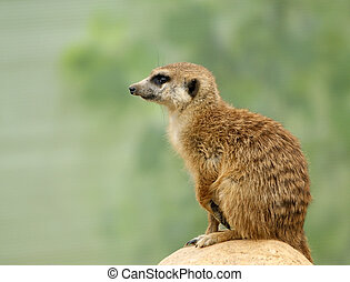 The meerkat or suricate (Suricata, suricatta), a small mammal, is a member of the mongoose family. Zoo, Moscow, Russia