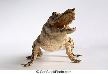 Image crocodile with open mouth close