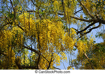 Acacia,  Kerala,  India, amarillo, flores, sur