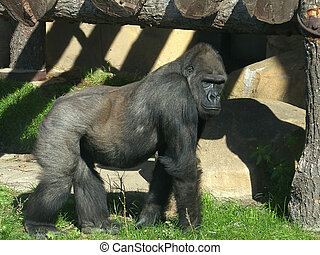The large image of a gorilla  .