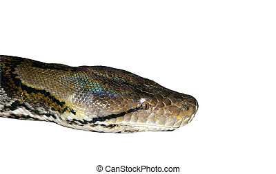 Large-scale image of a head boa, isolated
