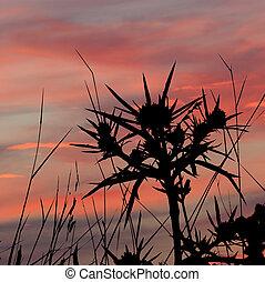 Contour Barb on the crimson sunset. ?ryngium planum L