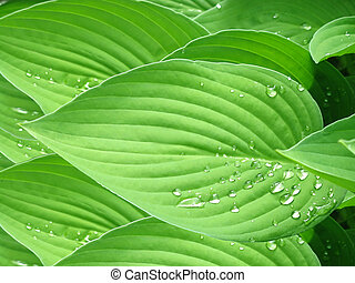 Hosta Leaf Pattern with Water Drops