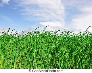Field of Green Grass - Field of Tall Green Grass with Blue...