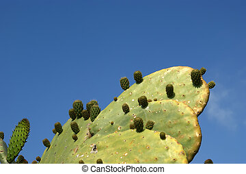Opuntia cactus (prickly pear) on clear sky background