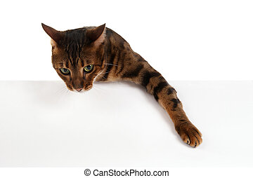 The leopard cat above white banner looking at camera. Add...
