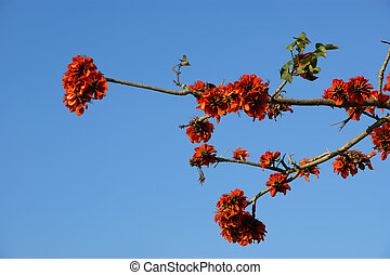 beautiful Flamboyant tree (Royal Poinciana or Delonix regia...