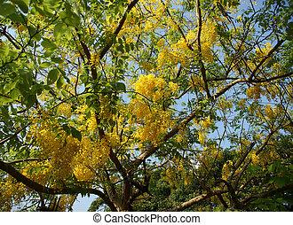 flores, amarillo, Acacia, Kerala, sur, India