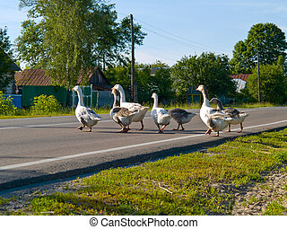 Gooses crossing a road - Several clever gooses with leader...