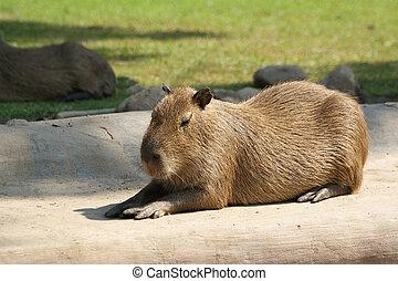 The European beaver or Eurasian beaver (Castor fiber)