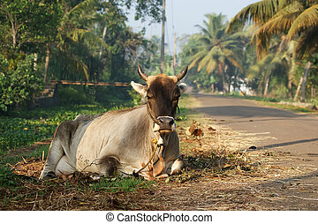Portrait of the sacred cows of India, Kerala, South India