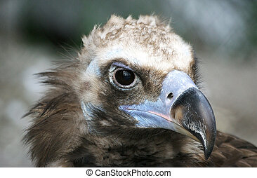 The large image of a bird of family hawk with the big beak...