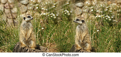 The meerkat or suricate Suricata, suricatta, a small mammal,...