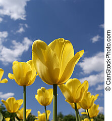 Beautiful yellow tulips on a background of blue sky with clouds in the sunny weather