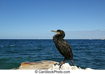 The Great Cormorant Phalacrocorax carbo, known as the Great...
