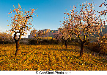 Flowering Almonds - Plantation of Flowering Almonds on a...