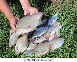 fishing catch - breams - group of breams for the background