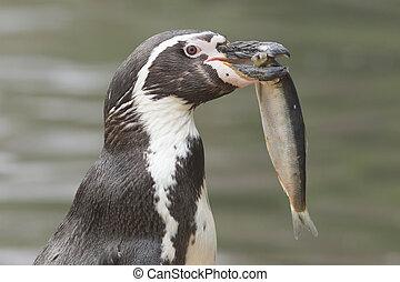 Groot, visje, eten,  Penguin