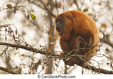 Mantled howler (Alouatta seniculus) howling in a tree