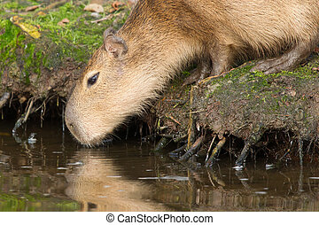 Capybara Hydrochoerus hydrochaeris drinking from a dirty...